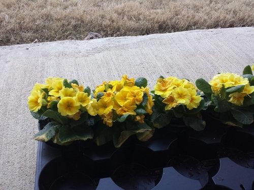 what is primrose plant