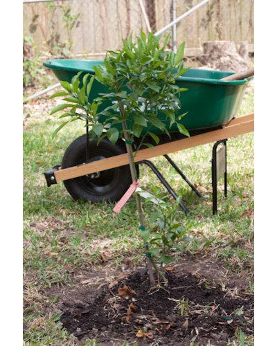 Spring Fruit Tree Planting