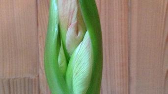 reblooming amaryllis