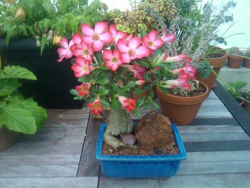 Bonsai Adenium Obesum In Flower