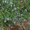 Great Design Plant: Symphyotrichum Shortii