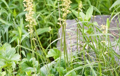 Heuchera Richardsonii Flourishes in Sunny, Dry Spots