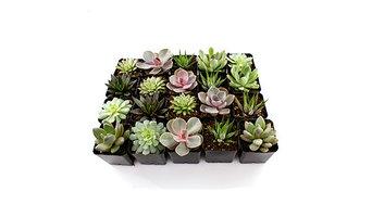 "Live 2.5"" Succulent Plants Flat of 20"