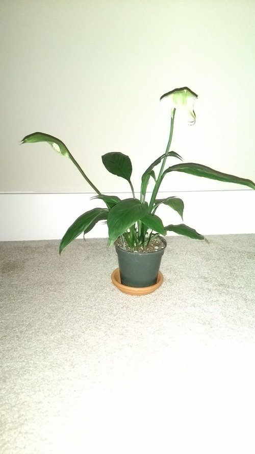 Is my peace lily overwatered?