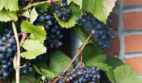 Sådan kommer du i gang med at dyrke druer