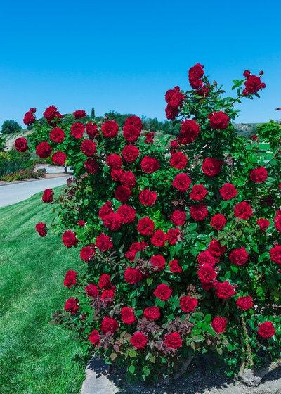 by Weeks Roses