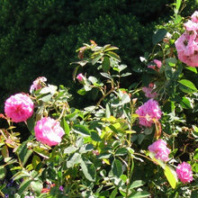 'Head of the River' Rose