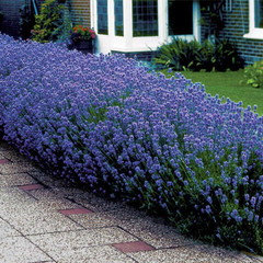 Help Getting A Hedge Of Munstead Lavender