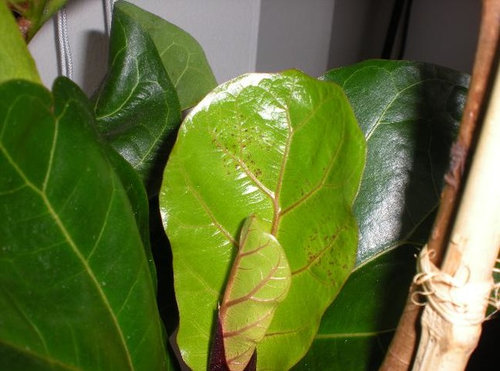 New Leaves On Fiddleleaf Fig Has Clusters Of Small Red Dots