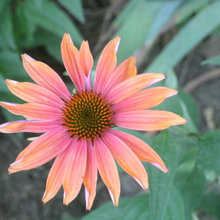 Echinacea from 'Sunrise' seed