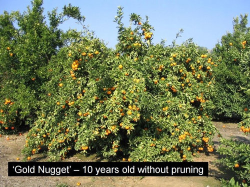 It Is Known That Gold Nugget Very Productive And Like Most Mandarins Alternating So Important A Good Pruning