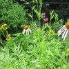 Get Coneflower Blooms All Summer Long