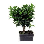 Euonymus - Green Euonymus Standard