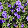 Great Design Plant: Desert Ruellia Brings Beauty to Dry Gardens