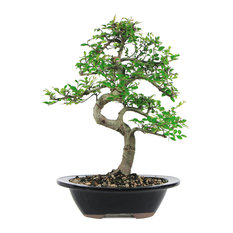 brussels bonsai chinese elm bonsai tree plants - Tall Potted Plants