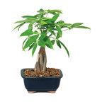 Money Tree Bonsai Tree