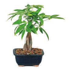 Brussel's Bonsai - Money Tree Bonsai Tree - Plants