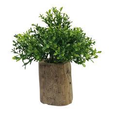 Naturalist Boxwood Bonsai