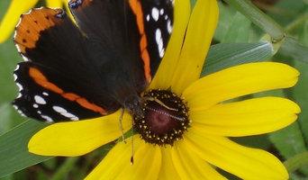Boz butterfly edit 2012.jpg