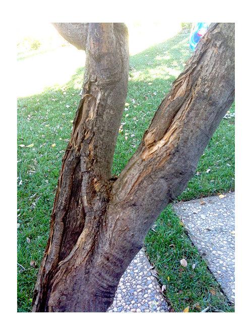 Japanese Maple Bark Issue