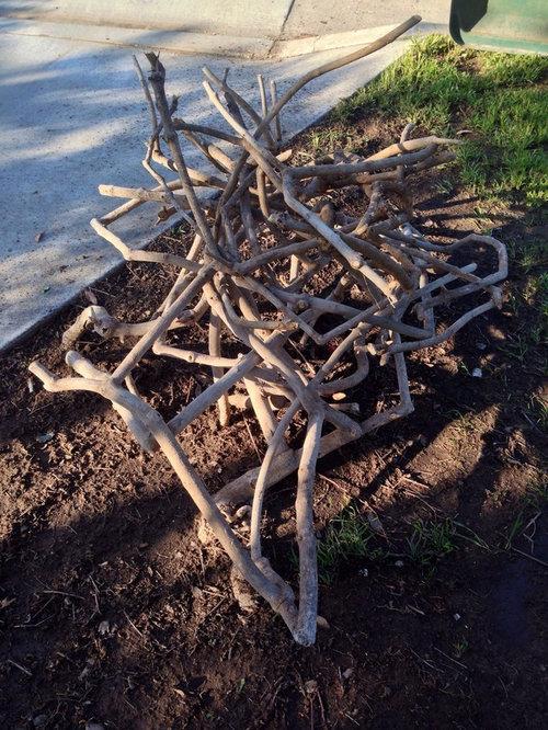 Hard Pruning Lantana