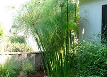 Plant -Tall slender, bamboo-like, with hair-