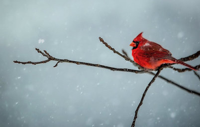 Backyard Birds: Northern Cardinals in the Snow, and Other Red Birds