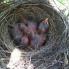 Why did these baby birds disappeaer?