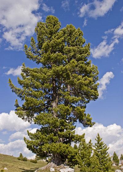 Pinus cembra Zirbelkiefer