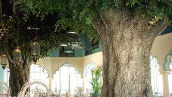 Large Ficus trees