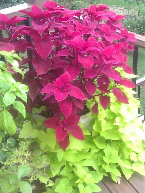 Plantes exotiques extrieur excellent plante tombante exterieur verveine vacgas deep violet - Plantes exterieur resistant gel ...