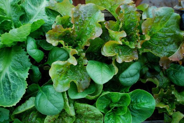 Salat Ziehen Für Anfänger ? Aromatisch-frisch In Den Frühling Frische Salate Eigenen Garten Ernten