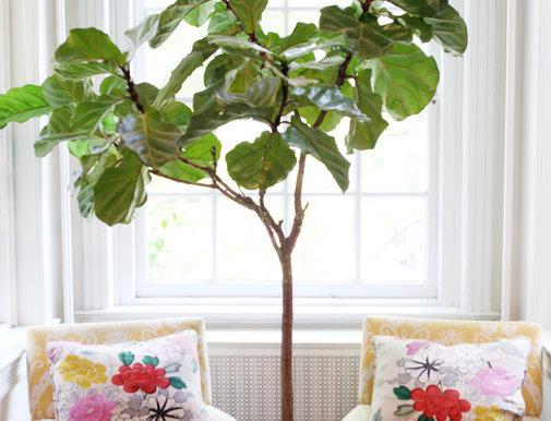 Indoor Trees Low Light Indoor Tree Low Light Ficus