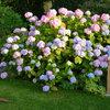 Üppige Blütenpracht im Schatten – mit Hortensien!