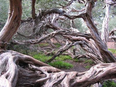 Landscape Coast Tea Tree (Leptospermum laevigatum)