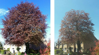 Copper Beech before and after