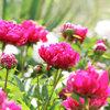 Pflegeleichtes Blütenmeer: Die 10 schönsten Prachtstauden