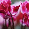 Fiore del Mese: I Ciclamini