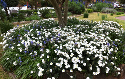 Great Design Plant: Convolvulus Cneorum