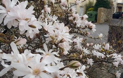 Great Design Tree: Star Magnolia