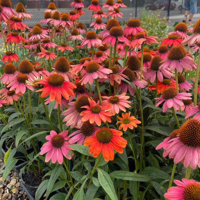 'Seasonal Inspiration' Planting Design