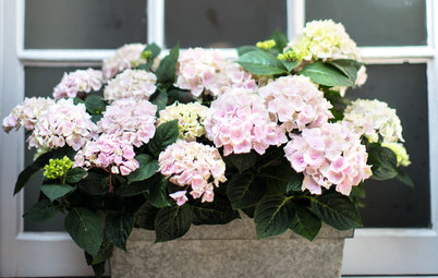 Classic Bigleaf Hydrangeas Add Old-Fashioned Charm to a Garden