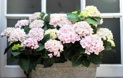 Classic Bigleaf Hydrangeas Add Old-Fashioned Charm to a Garden
