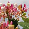 Come Coltivare il Caprifoglio Rampicante e Arbustivo