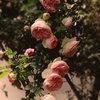 Guida alla Coltivazione della Rosa Rampicante