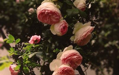 Guida alla Coltivazione della Rosa Rampicante 'Pierre de Ronsard'