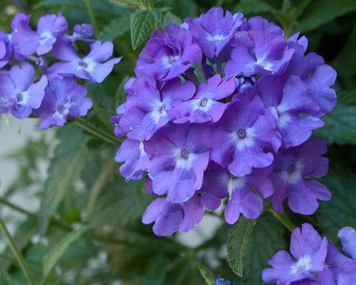 full sun annuals  houzz, Natural flower