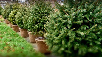2016 Christmas Trees, live, ready for delivery