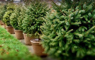 Glædelig bagjul: Skal dit juletræ genbruges eller skrottes?