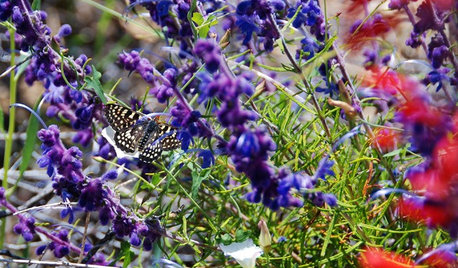 California Gardeners: Add Woolly Bluecurls to Your Fall Planting List